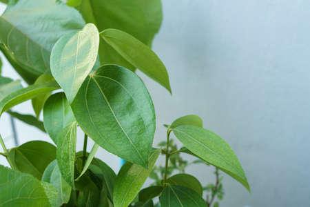 Macro photo of Saigon cinnamon leaves Stock Photo