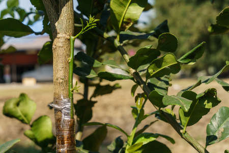 Lime branch that grow from grafting with kaffir lime tree. Standard-Bild