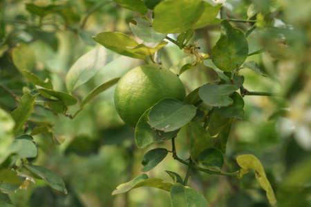 Young key lime fruits on a key lime tree