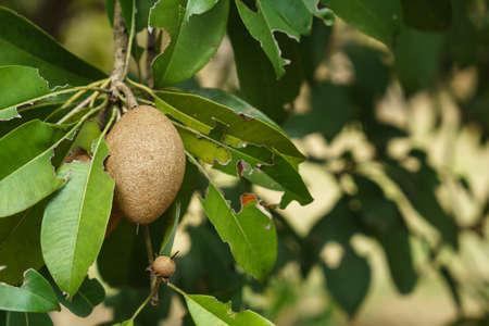 Sapodilla fruits on a sapodilla tree Reklamní fotografie