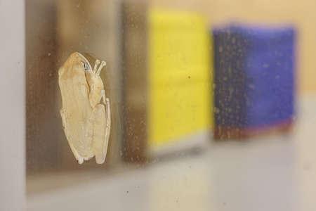 A tree frog clinging to the window. (Dorsal side) Reklamní fotografie