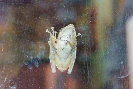 A tree frog clinging to the window. (Venrtral side)
