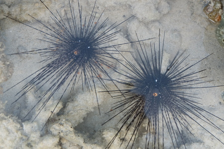sealive: Sea urchins in water