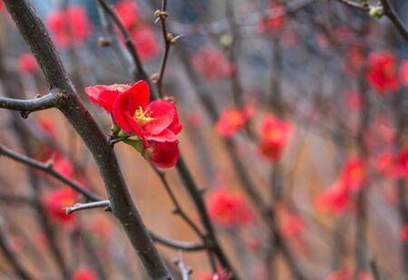 red winter flowers chaenomeles in Queensland, Australia