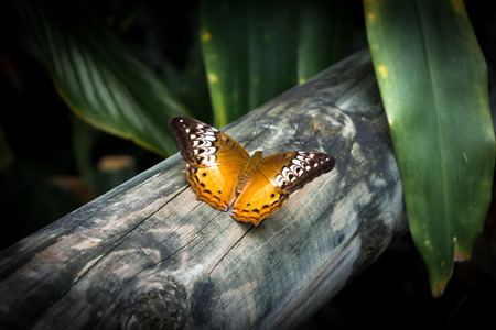 The butterfly Cruiser butterfly (Vindula arsine) femalewith orange and brown wings is sitting on the wood in Cairns, Kuranda, Australia