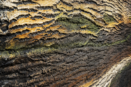 Dry pine tree bark with rough surface texture background.