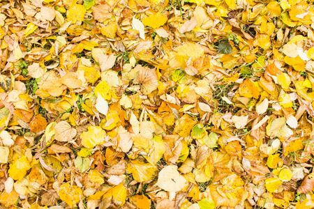 Yellow dry leaves on the green grass. Fallen foliage background. Autumn concept.