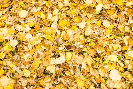 Yellow dry leaves on the ground after rain. Fallen wet foliage background. Autumn concept.
