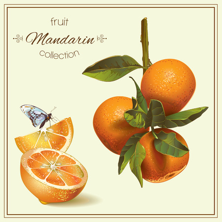 Vector realista ilustración de mandarina con la rebanada y la mariposa. Aislado en el fondo verde claro. Diseño para el té, zumo, cosmética natural, el bicarbonato, caramelos y dulces de llenado, la tienda de comestibles.