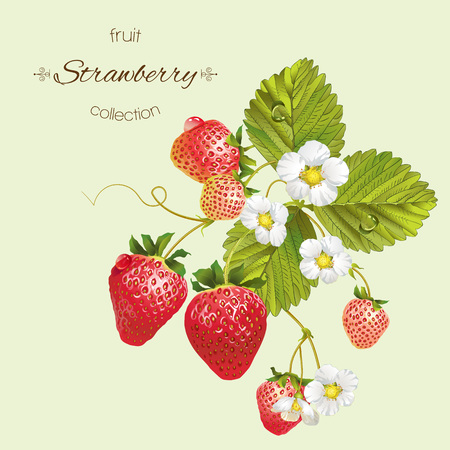 Vector realistic illustration of strawberry with leaves and flowers. Isolated on light green background. Design for grocery, farmers market, tea, natural cosmetics, aromatherapy,summer disign element.
