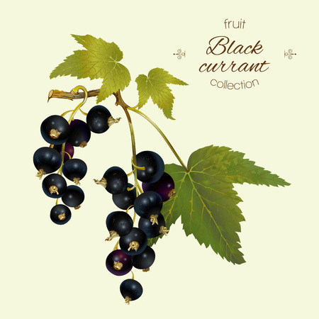 cosmetics products: Vector realistic illustration of black currant with leaves. Isolated on light green background. Design for tea, ice cream, cosmetics, candy and bakery with black currant filling, health care products.