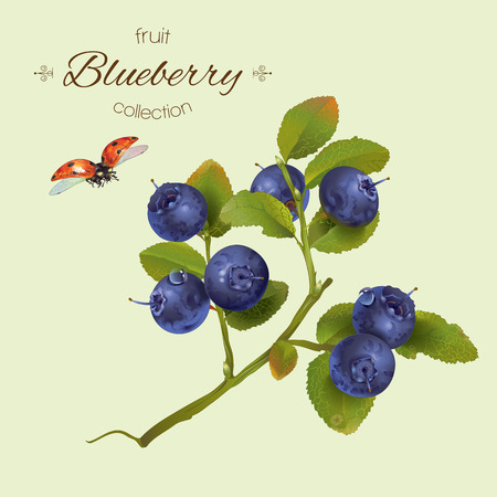 realistic illustration of blueberry with leaves.Isolated on light green background.Design for grocery, farmers market, natural cosmetics, aromatherapy,pastries and sweets filled with blueberry. Ilustração