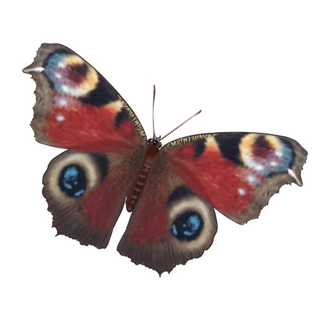 nymphalidae: realistic illustration of European Peacock butterfly. Inachis io. Isolated on white background. Summer and greeting card design element. Illustration