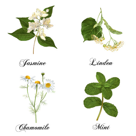Vector realistische detaillierte Heilkräuter und Pflanzen gesetzt isoliert auf weiß. Entwurf für Kosmetika, Kräutertee, Homöopathie, Natur- und Bio-Gesundheitspflegeprodukte. Die beliebtesten Tee-Aromen. Vektorgrafik
