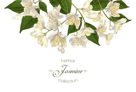 Flores de jazmín. Diseño para el té, cosmética natural, tienda de belleza, productos para el cuidado de la salud orgánicos, perfumes, aceites esenciales, aromaterapia. Se puede utilizar como tarjeta de felicitación o invitación de la boda Foto de archivo - 68049279