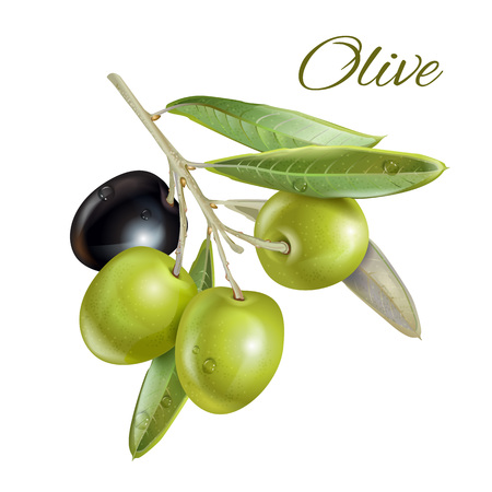 oliva: realistic illustration of ripe black and green olives isolated on white background. Design for olive oil, natural cosmetics, health care products, homeopathy. With place for text Illustration