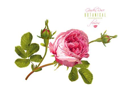 Rose realistic illustration