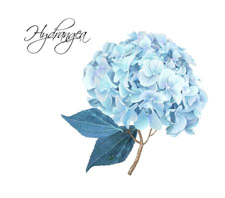 Hydrangea realistic illustration