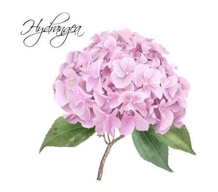Hydrangea pink realistic illustration