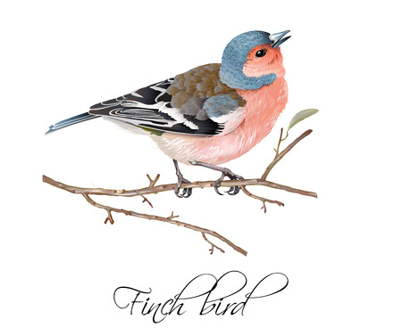 Finch bird illustration