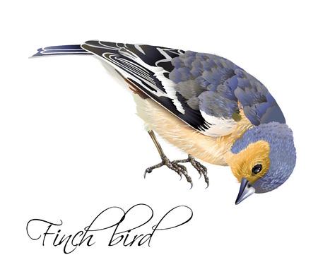 Finch bird illustration