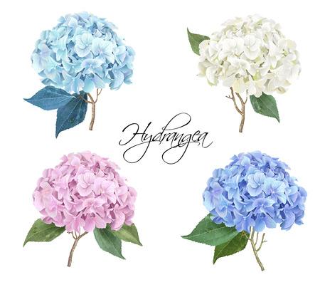Ensemble d'illustration réaliste de l'Hydrangea Banque d'images - 85711677