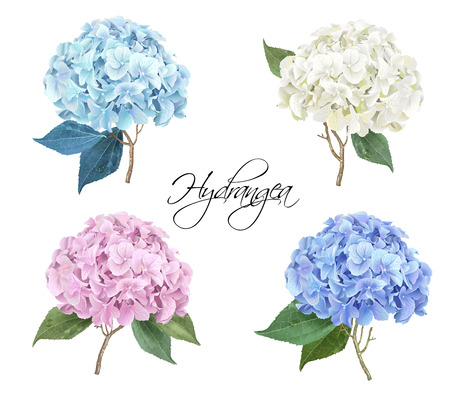 Hydrangea realistic illustration set