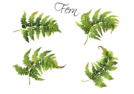 Fern illustration set