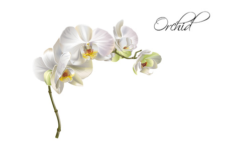 Orchid realistic illustration Stock Photo
