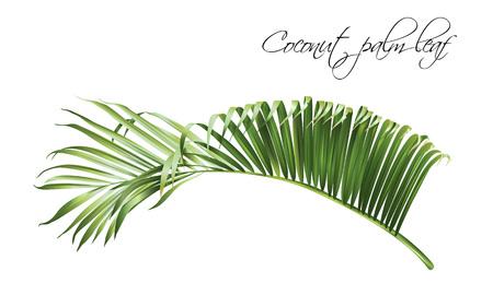 Coconut palm leaf illustration on white background.