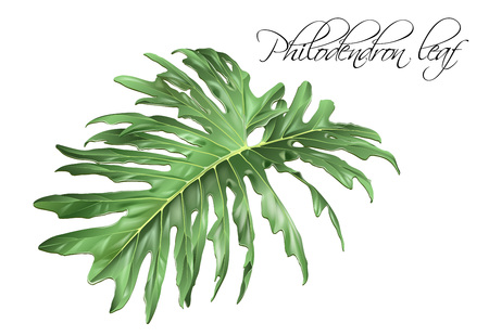 Philadendron leaf illustration on white background.