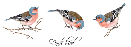 Vector realistic highly detailed illustration set of finch bird isolated on white background. Design element for wedding, christmas, knowledge day or greeting card.Can be used for scrap book, copybook