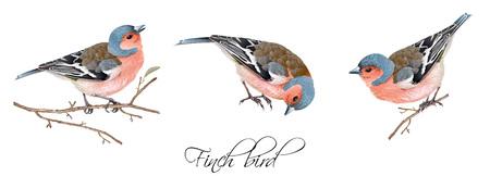 Vektorrealistischer in hohem Grade ausführlicher Illustrationssatz des Finkvogels lokalisiert auf weißem Hintergrund. Gestaltungselement für Hochzeit, Weihnachten, Tag des Wissens oder Grußkarte. Kann für Scrapbook, Copybook verwendet werden