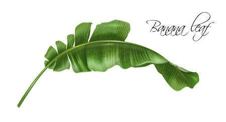 Vector realistic image of banana tropic leaf Stock Photo