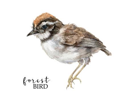 Retro hand drawn watercolor tymelia bird image