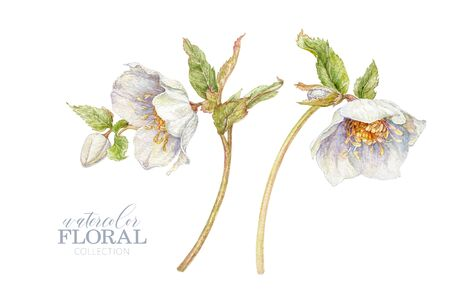 Watercolor hellebore flower set isolated on white