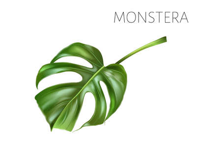 Vector monstera leaf isolated on white