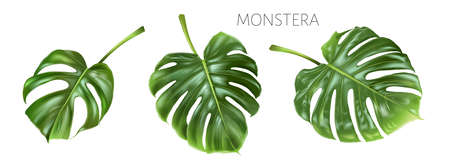 Vector monstera green leaves isolated on white
