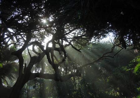 gnarled: Los rayos del sol a trav�s de la explosi�n de viejos �rboles retorcidos