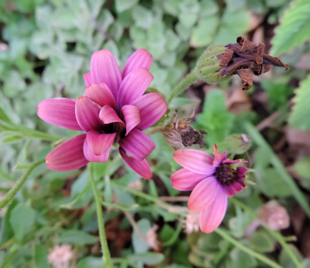 pinks: Trailing purple daisy flower