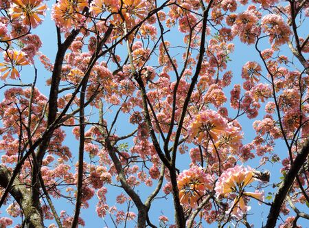 against: Explosion of pink and yellow flowers against a blue sky backdrop Archivio Fotografico
