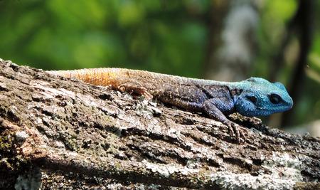 lizzard: Vibrant multi-coloured blue headed lizard iguana on tree trunk