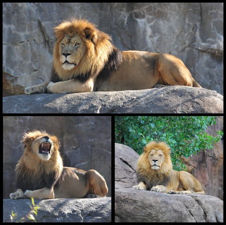 Lion on pride rock