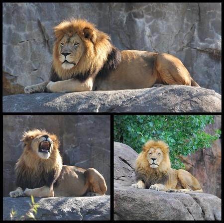 Lion sulla roccia orgoglio Archivio Fotografico - 4402120