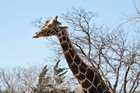 long nose: a tall giraffe streches his long neck to the sky Stock Photo
