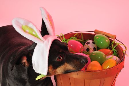 little dog playing easter bunny photo