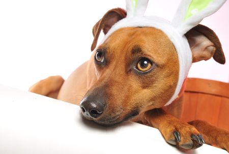 little dog playing easter bunny Stock Photo - 4618280