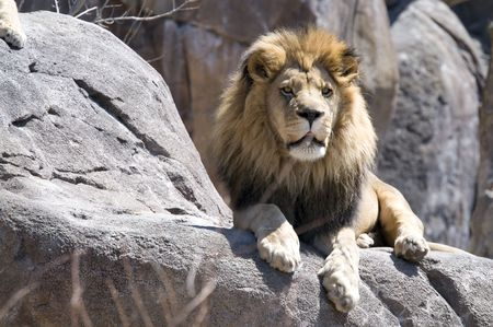 King of the beasts sitting on a rock Stock Photo