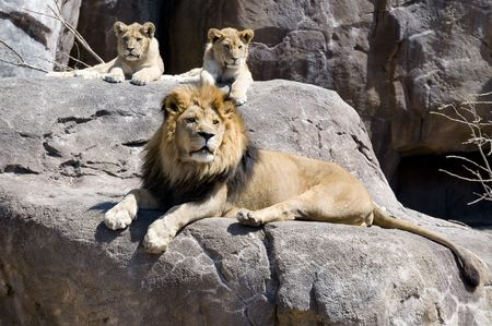 a large male lion and his 2 cubs sit and wait on pride rock