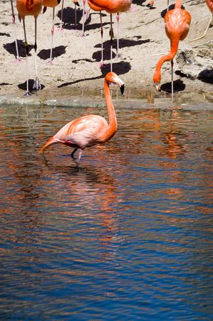 a bright color flamingo wades in the water photo